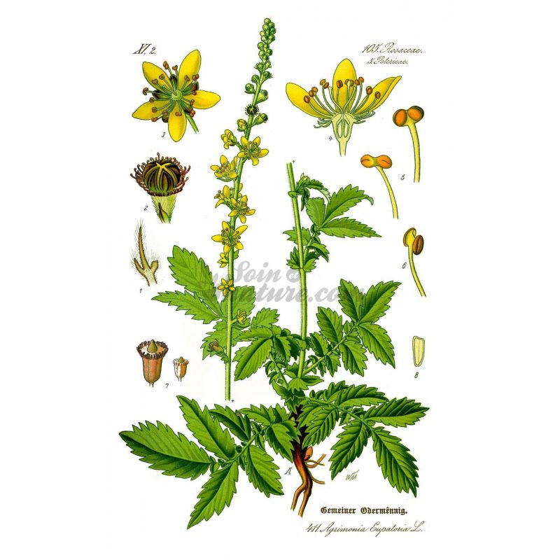 Agrimony Agrimo... Herboristerie