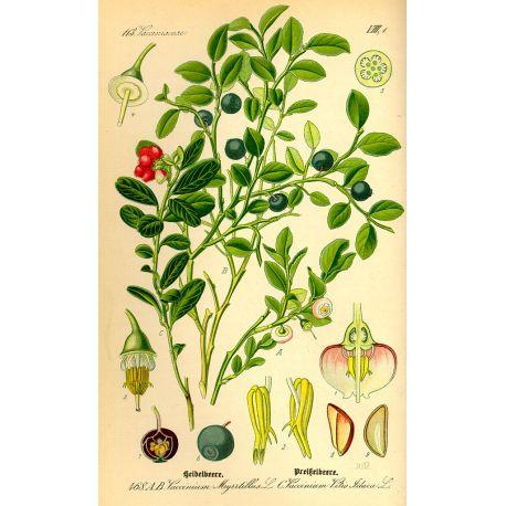 Airelle (Myrtille) Feuille HERBORISTERIE Vaccinium myrtillus