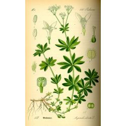 Aspérule odorante Gaillet odorant Plante HERBORISTERIE Galium odoratum (L.) Scop.