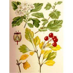 Aubépine Fleur HERBORISTERIE Crataegus oxyacanta L.