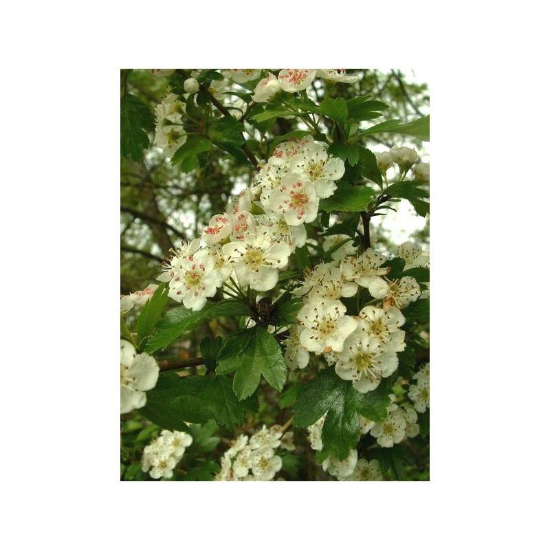 Flowering top h... Herboristerie